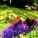 Dagpauwoog en Atalanta vlinder.