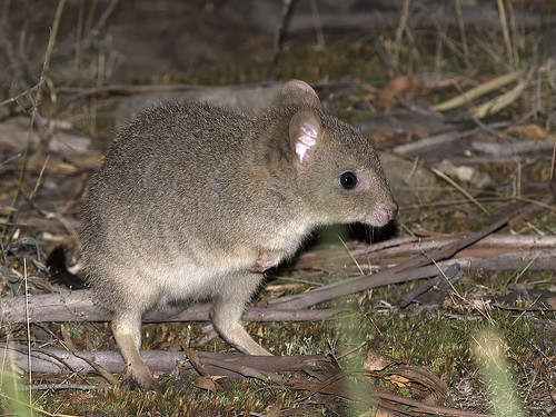 "Eastern Bettong - Gravelly Ridge, Tasmania • <a style=""font-size:0.8em;"" href=""http://www.flickr.com/photos/95790921@N07/35219188854/"" target=""_blank"">View on Flickr</a>"