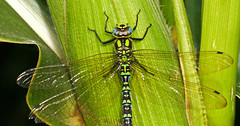 Dragonfly on Maize Closeup
