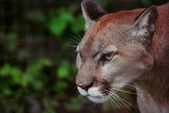 Cougar: Tamron 18-400mm