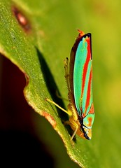 Colorful Treehopper