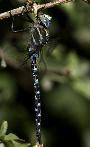 macro canon dragonfly hawker darner closeup wildlife... (Photo: Scottygphotos / DSLR Grandmaster ️️ on Flickr)