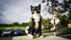 Tuxedo Meow