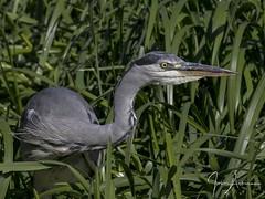 Grey Heron 22/09/17