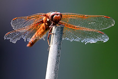 Battle weary Red Dragonfly 2