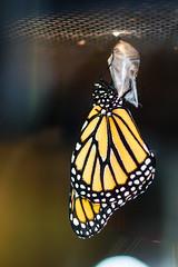 Monarch Butterfly (4 of 4)