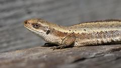 Lizard - Zootoca vivipara