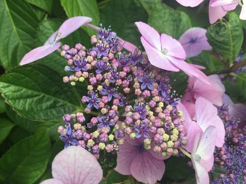 Hartland Abbey Gardens hydrangea