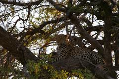 Moremi's Leopard