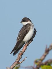 Tree Swallow, female - Plumb Beach