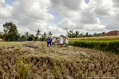 Women working in rice fields. Rice is a commodity we take for granted but the amount of hard work and sweat that goes into cultivating this staple is often overlooked.