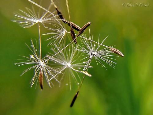 Dandelion seeds/ Pitypang magok