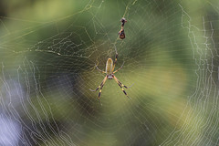 "Banana spider morning diet • <a style=""font-size:0.8em;"" href=""http://www.flickr.com/photos/152658701@N05/37304495254/"" target=""_blank"">View on Flickr</a>"