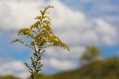 Wildflowers (Longwood Meadow)