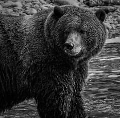 Orford Grizzly in B/W