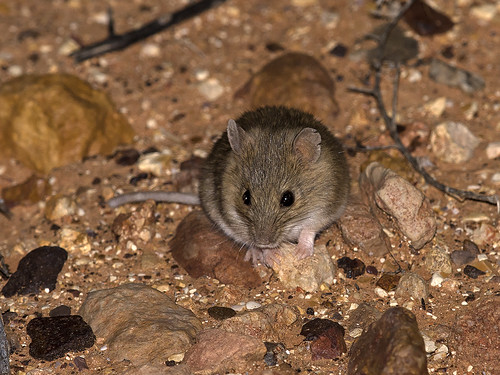 """Desert Short-tailed Mouse - Leggadina forresti - Outback SA • <a style=""""font-size:0.8em;"""" href=""""http://www.flickr.com/photos/95790921@N07/38087965771/"""" target=""""_blank"""">View on Flickr</a>"""