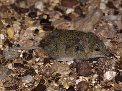 """Desert Short-tailed Mouse - Leggadina forresti - Outback SA - doing its go to sleep in the spotlight trick • <a style=""""font-size:0.8em;"""" href=""""http://www.flickr.com/photos/95790921@N07/38087973681/"""" target=""""_blank"""">View on Flickr</a>"""