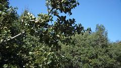 Stejar de piatra - Quercus ilex