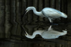 The Elegance of the Little Egret