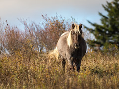 Pony at Grayson Highlands State Park, Virginia