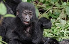 Baby Gorilla.     Bwindi Uganda