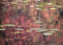 "Deborah Goemans - Lily Pads on Tracy Lake <a style=""margin-left:10px; font-size:0.8em;"" href=""http://www.flickr.com/photos/9089158@N06/37390036901/"" target=""_blank"">@flickr</a>"