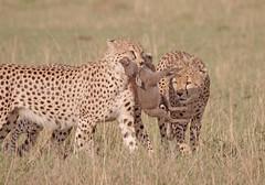 Cheetah hunt-39