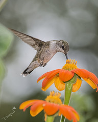 ruby-throat hummingbird sampling flower 9-20-17_022