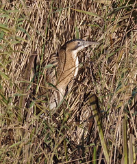 Bittern in the reeds.