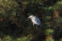 Grey heron hiding in a pine tree