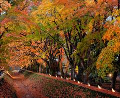 Illuminated Maple walk