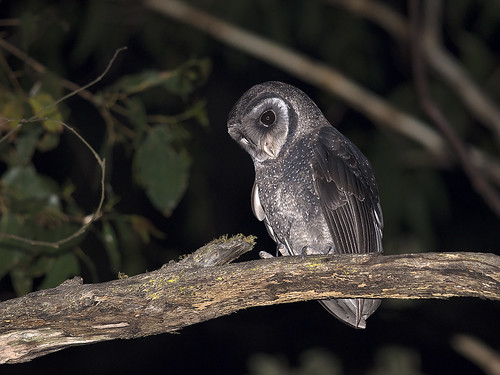 """Sooty Owl - Tarago State Forest - 19/11/2017 • <a style=""""font-size:0.8em;"""" href=""""http://www.flickr.com/photos/95790921@N07/38457965186/"""" target=""""_blank"""">View on Flickr</a>"""