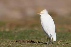 Western Cattle Egret | kohäger | Bubulcus ibis