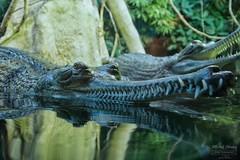 Gaviál indický (Gavialis gangeticus)