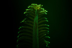 "Phosphorescent Sea Pen (Pennatula phosphorea) • <a style=""font-size:0.8em;"" href=""http://www.flickr.com/photos/51511072@N04/25270606568/"" target=""_blank"">View on Flickr</a>"