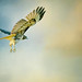 """Hawk in Clouds • <a style=""""font-size:0.8em;"""" href=""""http://www.flickr.com/photos/53554456@N05/38726287415/"""" target=""""_blank"""">View on Flickr</a>"""