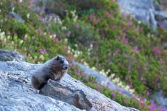 Baby marmot. Lake Byrne