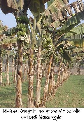 Jhenidah banana cut Photo 21-01-18 (2)