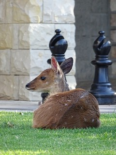 Cathedral Peak Hotel buck and giant chess, Drakensberg