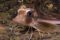 "Grey Gurnard (Eutrigla gurnardus) • <a style=""font-size:0.8em;"" href=""http://www.flickr.com/photos/51511072@N04/25340724907/"" target=""_blank"">View on Flickr</a>"