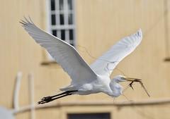 Great White Egret (Ardea alba)???