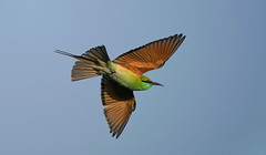 Bee-eater India