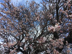 Almond blossoms