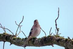 Buchfink - Common chaffinch singing on a tree