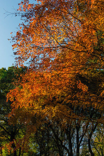 Maple Tree / 楓樹