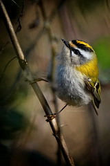 Firecrest through the twigs!