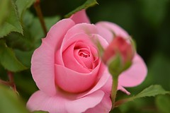Rose 'Francis Blaise' raised in France