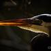 "DSC_4211 Great Blue Heron Beak - Backlit • <a style=""font-size:0.8em;"" href=""http://www.flickr.com/photos/69519377@N04/39400843514/"" target=""_blank"">View on Flickr</a>"