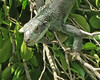 """Iguana eyes open • <a style=""""font-size:0.8em;"""" href=""""http://www.flickr.com/photos/140804122@N06/39595932954/"""" target=""""_blank"""">View on Flickr</a>"""