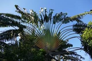 Traveller Palm (strelitzia actually)